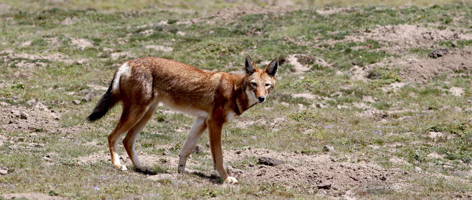 Ethiopian Wolf BMNP